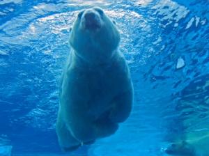 Polar bear_0975