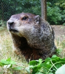 Woody, Michigan's Groundhog will make her prediction at 8:15 a.m.