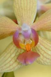 Bolz orchid