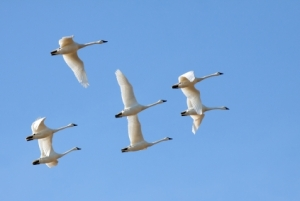 You may see Tundra Swan migration on one of the DNR Wetland Wonder tours (DNR photo)